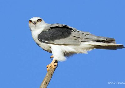 white-tailed_kite
