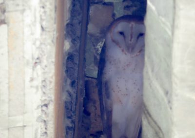 barn owl in viaduct