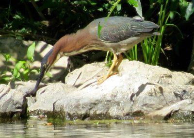 Green heron 2