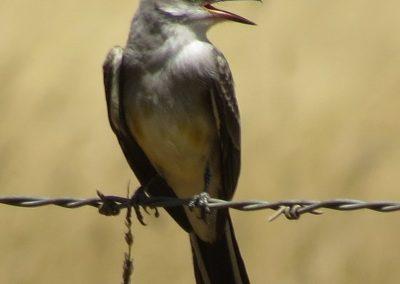 young kingbird