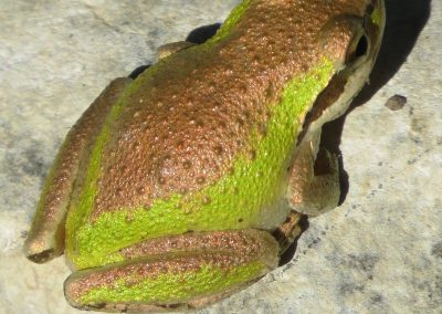 chorus treefrog