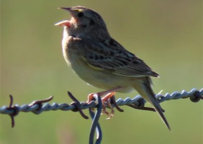grasshopper sparrow singing at plasma
